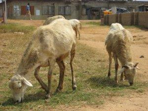 goats int eh village